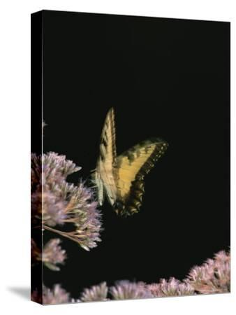 A Yellow Swallowtail Butterfly Lands on a Flower-Taylor S^ Kennedy-Stretched Canvas Print