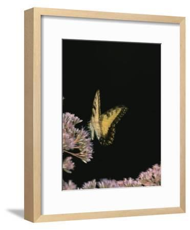 A Yellow Swallowtail Butterfly Lands on a Flower-Taylor S^ Kennedy-Framed Photographic Print