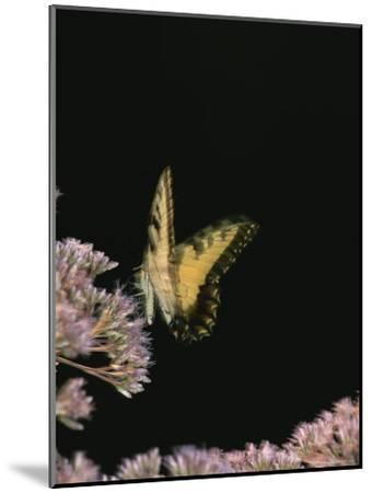 A Yellow Swallowtail Butterfly Lands on a Flower-Taylor S^ Kennedy-Mounted Photographic Print