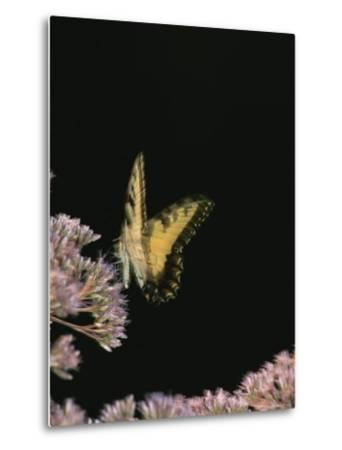 A Yellow Swallowtail Butterfly Lands on a Flower-Taylor S^ Kennedy-Metal Print