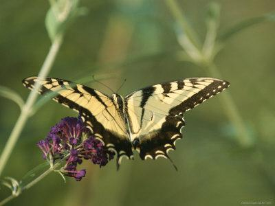 A Yellow Swallowtail Butterfly on a Flower-Taylor S^ Kennedy-Framed Photographic Print