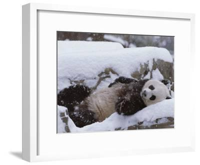 A Panda in the Snow at the National Zoo in Washington, Dc-Taylor S^ Kennedy-Framed Photographic Print