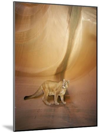 Mountain Lion on Rock Formation-Norbert Rosing-Mounted Photographic Print