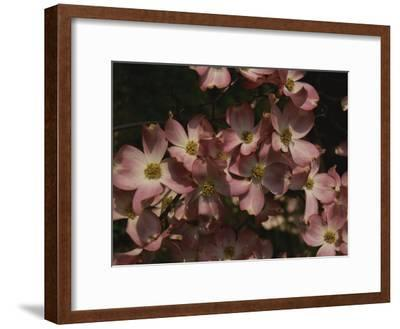 A Cascade of Pink Dogwood Blossoms in Early Spring-Stephen St^ John-Framed Photographic Print