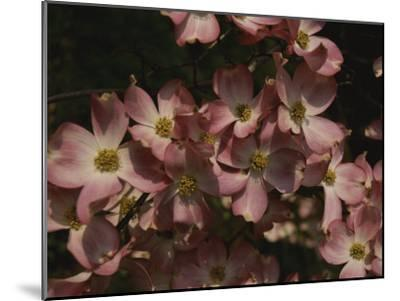 A Cascade of Pink Dogwood Blossoms in Early Spring-Stephen St^ John-Mounted Photographic Print