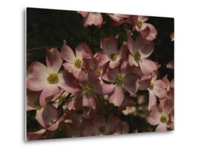 A Cascade of Pink Dogwood Blossoms in Early Spring-Stephen St^ John-Metal Print