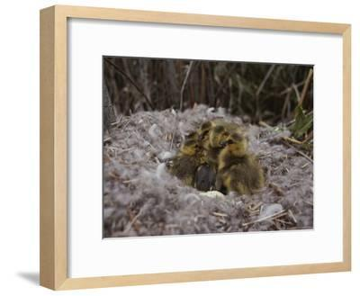 Close View of Canada Goslings Huddled in Their Nest--Framed Photographic Print