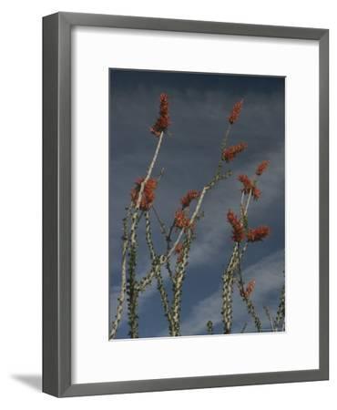 Ocotillo-Phil Schermeister-Framed Photographic Print