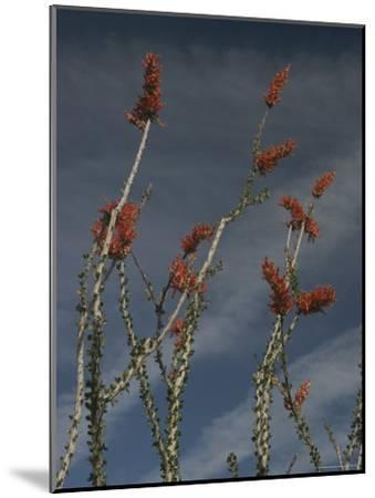 Ocotillo-Phil Schermeister-Mounted Photographic Print