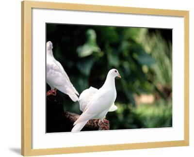 Doves-Bill Romerhaus-Framed Photographic Print