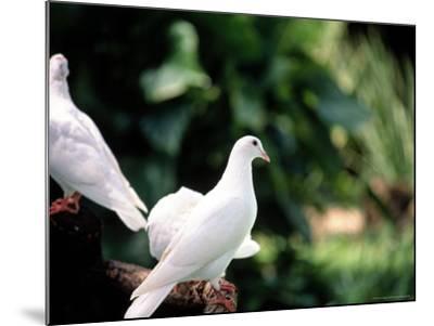 Doves-Bill Romerhaus-Mounted Photographic Print