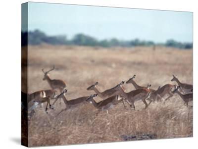 Impala, Serengeti, Tanzania, East Africa-John Dominis-Stretched Canvas Print