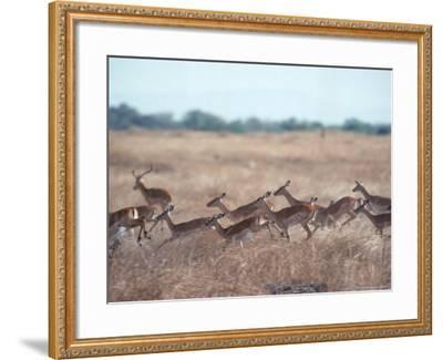 Impala, Serengeti, Tanzania, East Africa-John Dominis-Framed Photographic Print