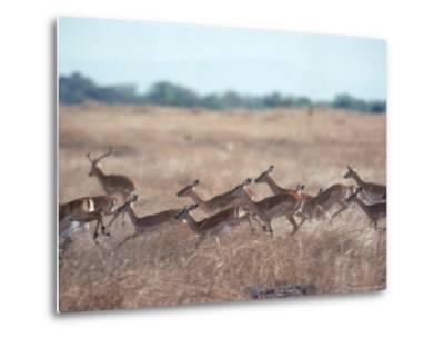 Impala, Serengeti, Tanzania, East Africa-John Dominis-Metal Print