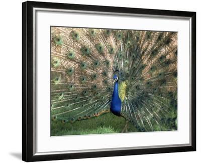 Male Peacock (Paro Cristatus)-Peggy Koyle-Framed Photographic Print
