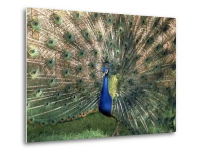 Male Peacock (Paro Cristatus)-Peggy Koyle-Metal Print