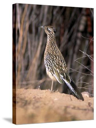 Greater Roadrunner, New Mexico-Elizabeth DeLaney-Stretched Canvas Print