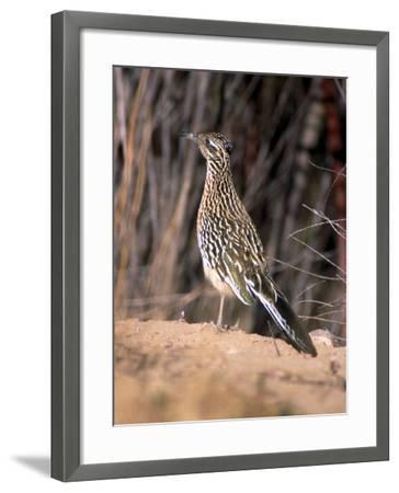 Greater Roadrunner, New Mexico-Elizabeth DeLaney-Framed Photographic Print