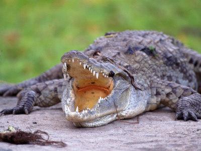 Crocodile, Mara River, Kenya-Elizabeth DeLaney-Framed Photographic Print