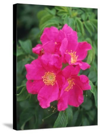 Wild Roses-Kindra Clineff-Stretched Canvas Print