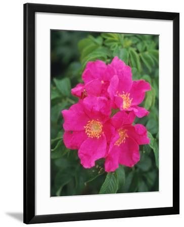 Wild Roses-Kindra Clineff-Framed Photographic Print