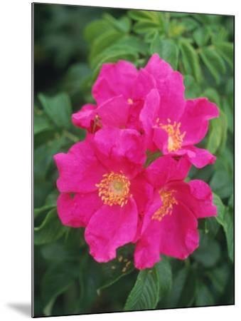 Wild Roses-Kindra Clineff-Mounted Photographic Print