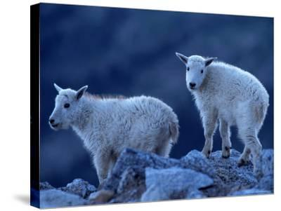 Mountain Goats on Mt. Evans, CO-Don Grall-Stretched Canvas Print
