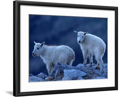 Mountain Goats on Mt. Evans, CO-Don Grall-Framed Photographic Print