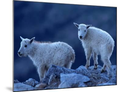 Mountain Goats on Mt. Evans, CO-Don Grall-Mounted Photographic Print