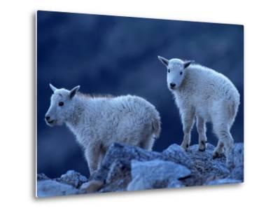 Mountain Goats on Mt. Evans, CO-Don Grall-Metal Print