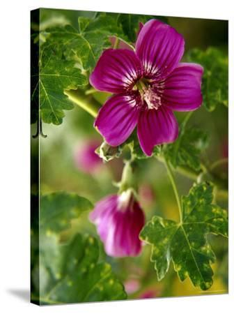 Northern Island Tree Mallow in Bloom, CA-Jeff Greenberg-Stretched Canvas Print