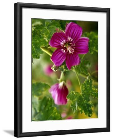 Northern Island Tree Mallow in Bloom, CA-Jeff Greenberg-Framed Photographic Print