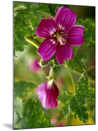 Northern Island Tree Mallow in Bloom, CA-Jeff Greenberg-Mounted Photographic Print