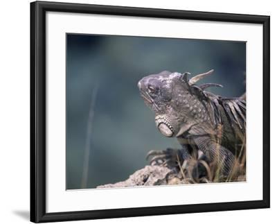 Green Iguana, Bonaire-Timothy O'Keefe-Framed Photographic Print