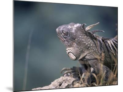 Green Iguana, Bonaire-Timothy O'Keefe-Mounted Photographic Print