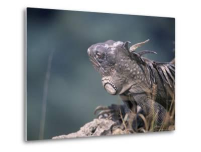 Green Iguana, Bonaire-Timothy O'Keefe-Metal Print