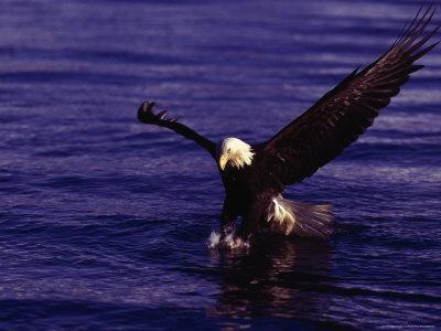 Bald Eagles, Haliaeetus Leucocephalus-D^ Robert Franz-Framed Photographic Print