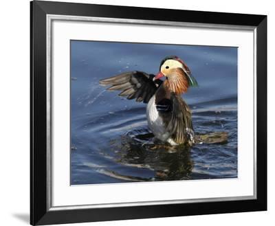 Mandarin Duck Wing Flapping-Russell Burden-Framed Photographic Print