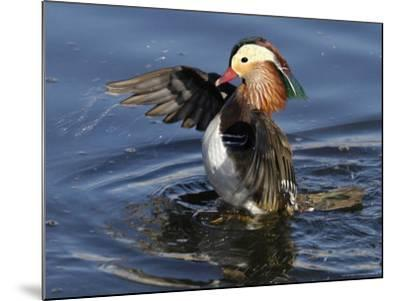 Mandarin Duck Wing Flapping-Russell Burden-Mounted Photographic Print