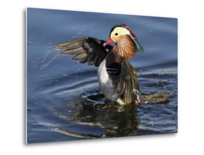 Mandarin Duck Wing Flapping-Russell Burden-Metal Print
