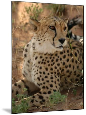 Cheetah, Nambia Africa-Keith Levit-Mounted Photographic Print