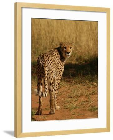 Cheetah, Nambia Africa-Keith Levit-Framed Photographic Print