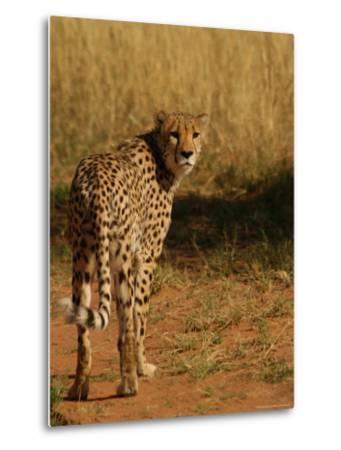 Cheetah, Nambia Africa-Keith Levit-Metal Print
