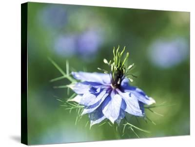 Nigella Damascena (Miss Jekyll), Close-up of Blue Flower-Ruth Brown-Stretched Canvas Print