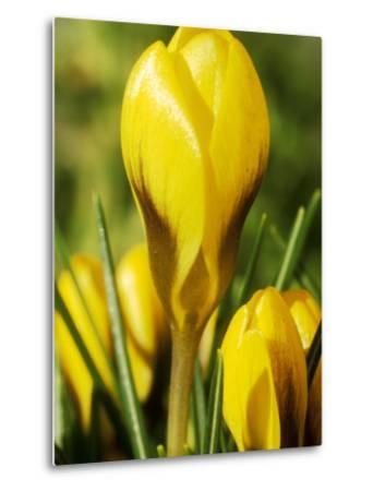 Crocus Chrysanthus, Goldilocks (Yellow) Close-up, February-Chris Burrows-Metal Print
