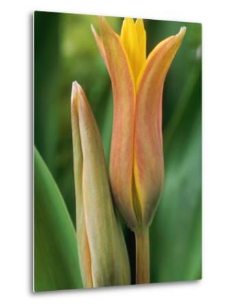Tulipa Ferganica-Chris Burrows-Metal Print