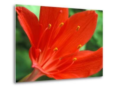 Cyrtanthus Elatus, Close-up of Red Flower Head-Chris Burrows-Metal Print