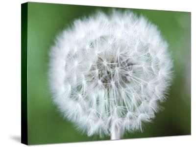 Taraxacum Officinale (Dandelion), Close-up of Seed Head-Chris Burrows-Stretched Canvas Print