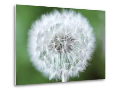 Taraxacum Officinale (Dandelion), Close-up of Seed Head-Chris Burrows-Metal Print