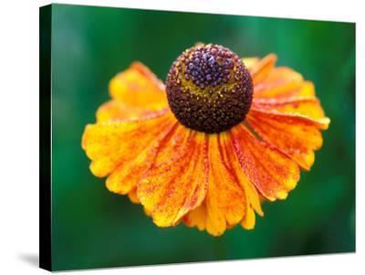 "Helenium ""Sahins Early Flowerer""-Lynn Keddie-Stretched Canvas Print"
